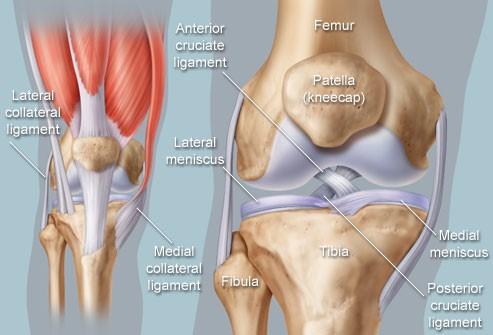 breakdown of the human knee
